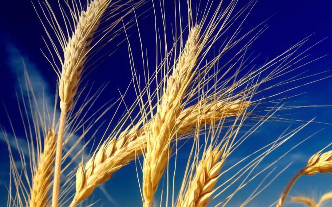 张洁:拣麦穗